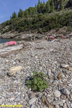 vegetazione dunale Elba