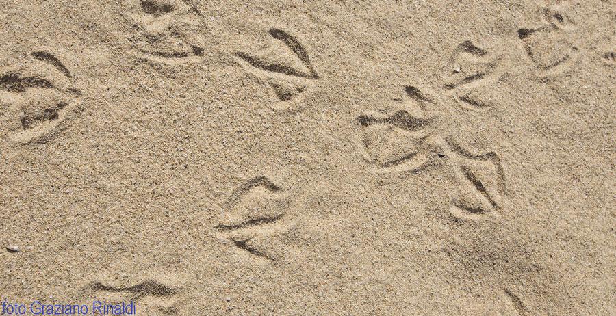 orme gabbiani su sabbia spiaggia Biodola