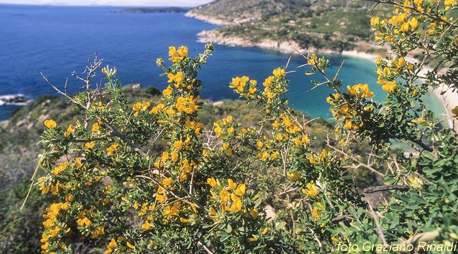 isola d'Elba macchia mediterranea calicotome spinosa su spiaggia di cavoli