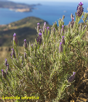 lavanda selvatica all'isola d'elba