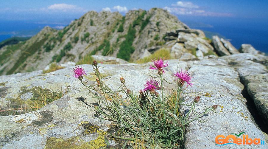 Isola_Elba_monte_Capanne_fiordaliso_capanne