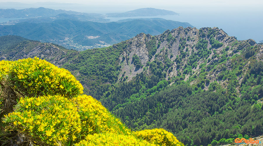 Isola_Elba_monte_Capanne_ginestra_in_fiore
