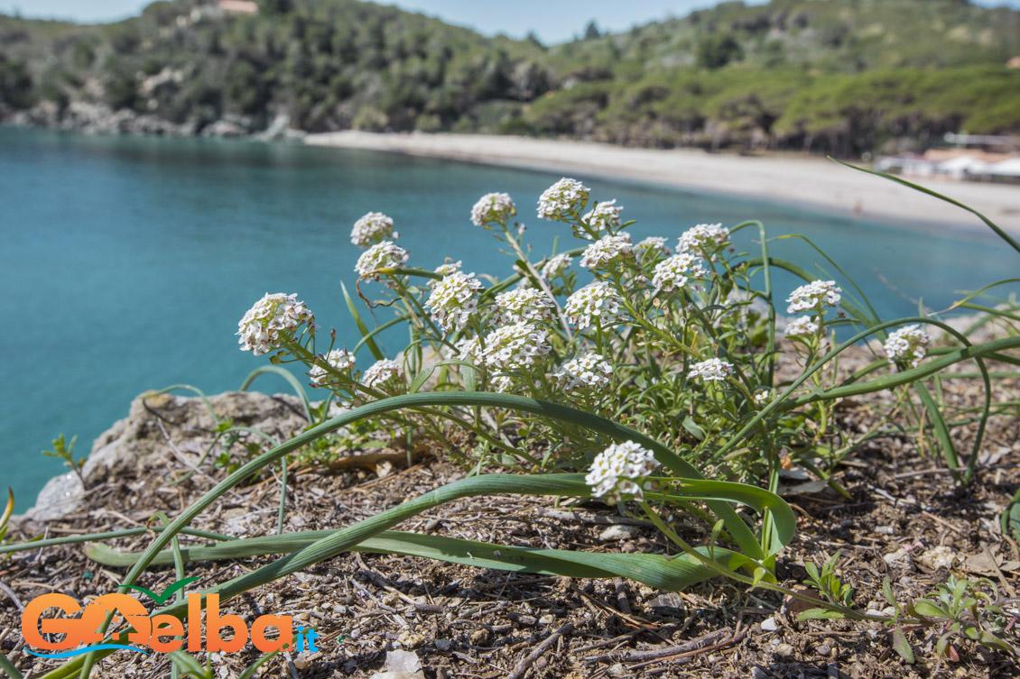 elba fiori sul mare spiaggia di Fetovaia